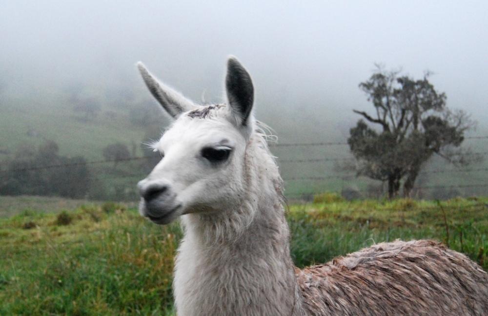 Ecuador Papallacta Lama