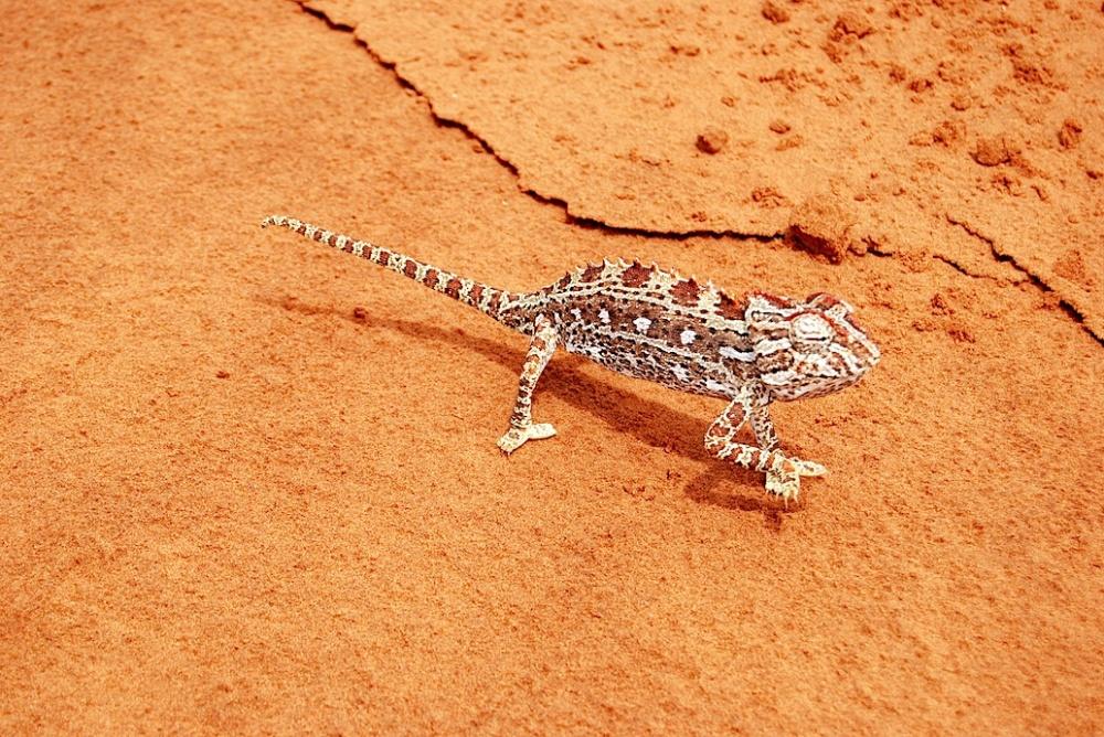 Namibia Chamäleon