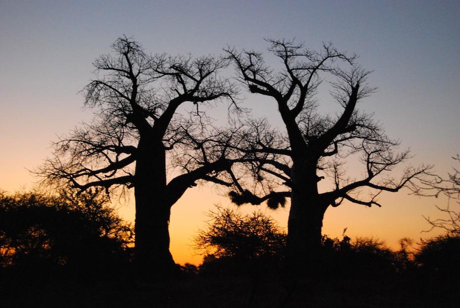 Südafrika Baobab