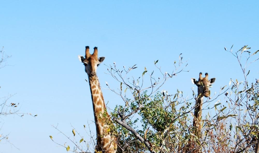 Südafrika Giraffen
