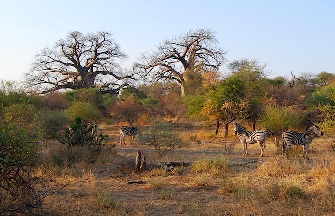 Südafrika Zebras