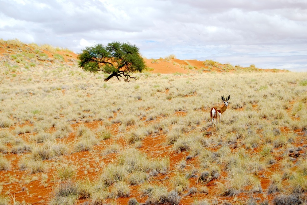 Namibia Antilope