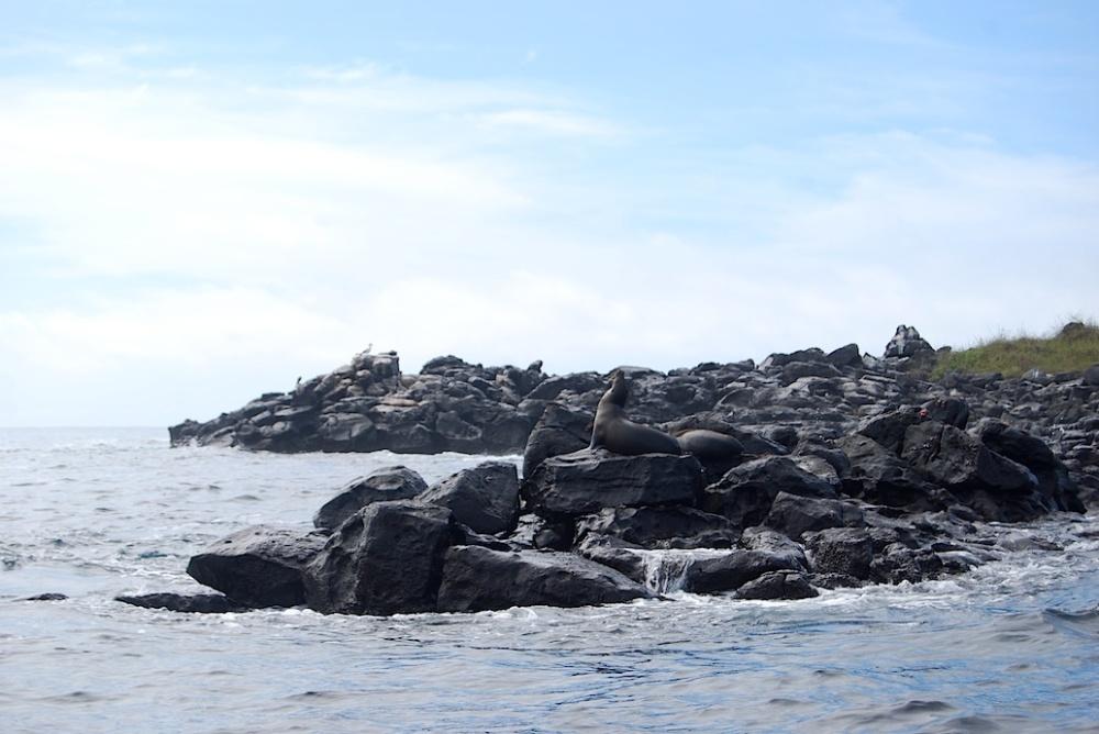 Galapagos Robbe