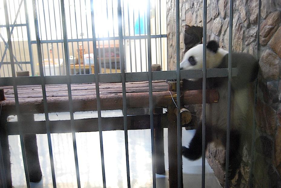 China Panda-Baby