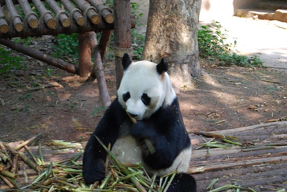 China Panda-Frühstück