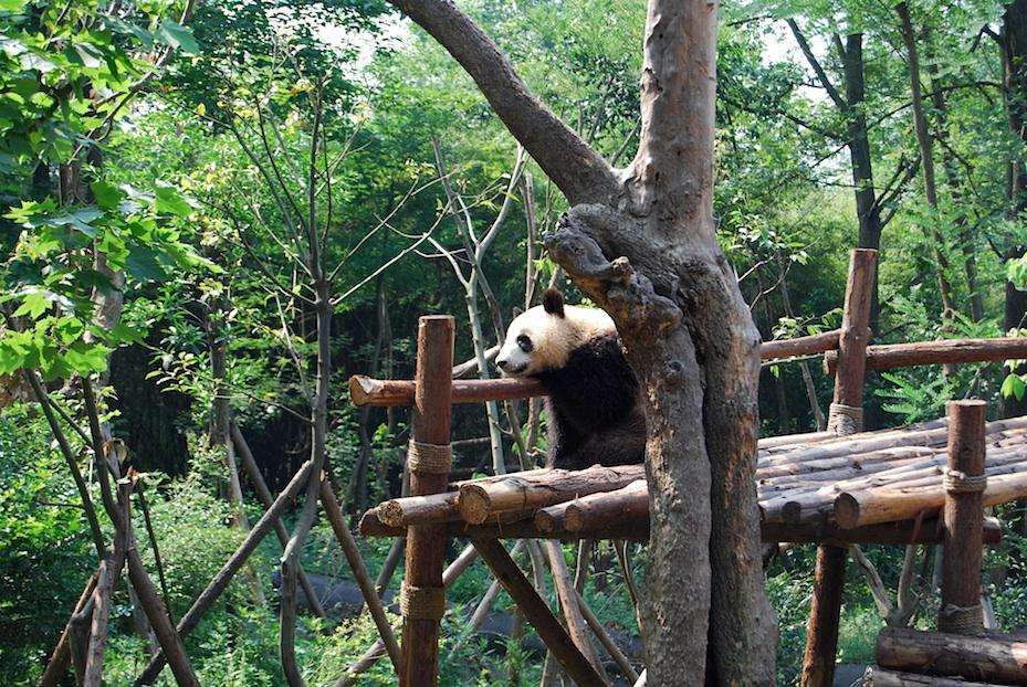 China Panda-Park3