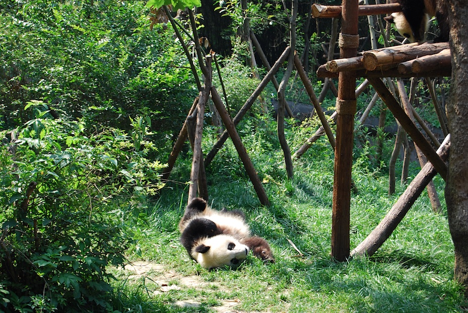 China Panda-Park4