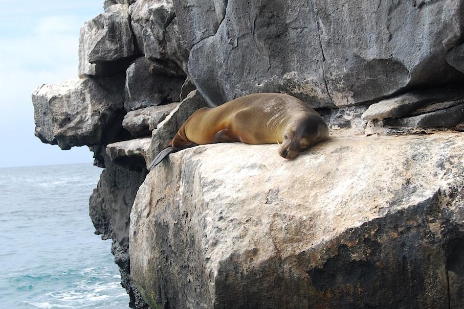 Galapagos_Seeloewe_Siesta