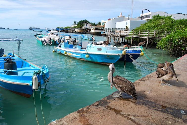 Pelikane_Puerto_Ayora