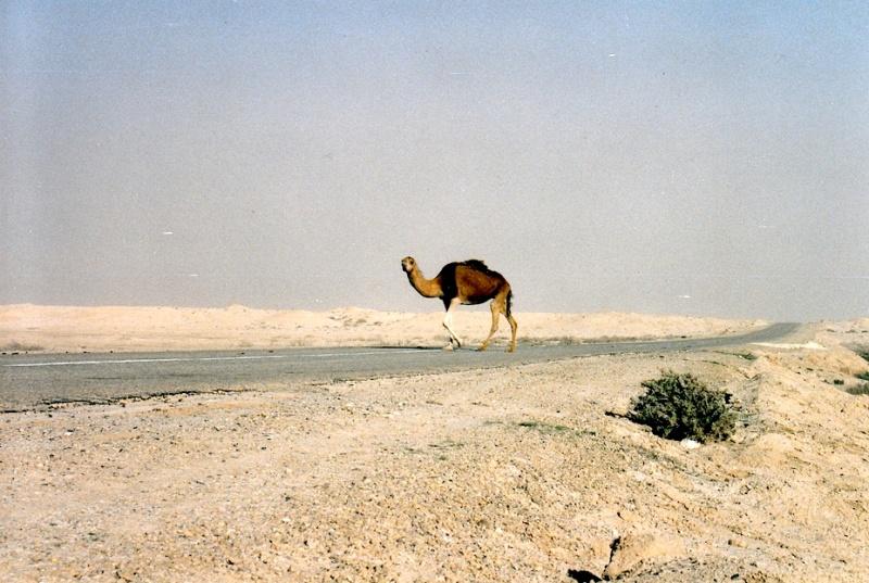 Kofferlos unter Kamelen