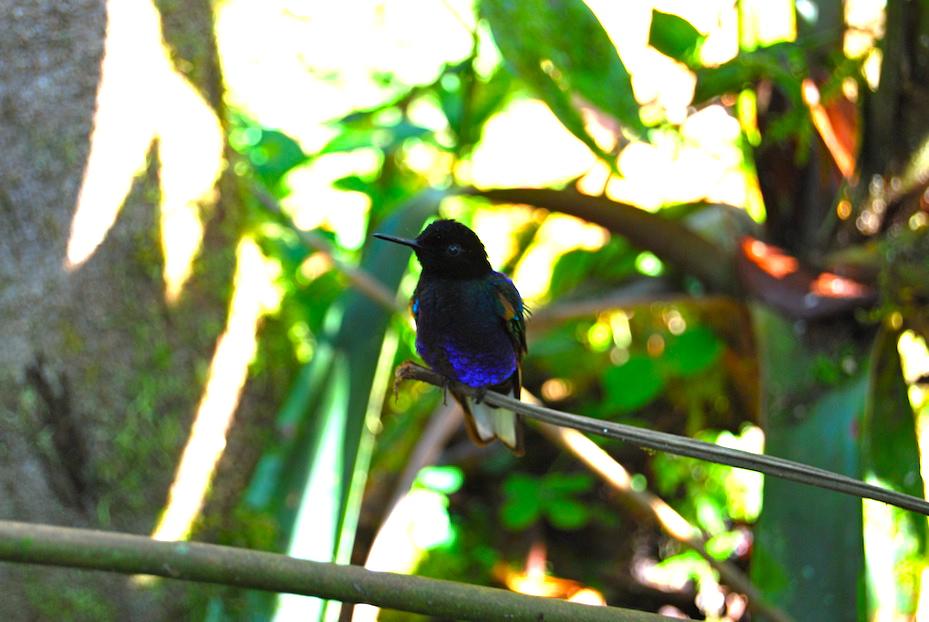 Ecuador_Kolibri