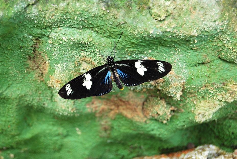 Ecuador_Schmetterling