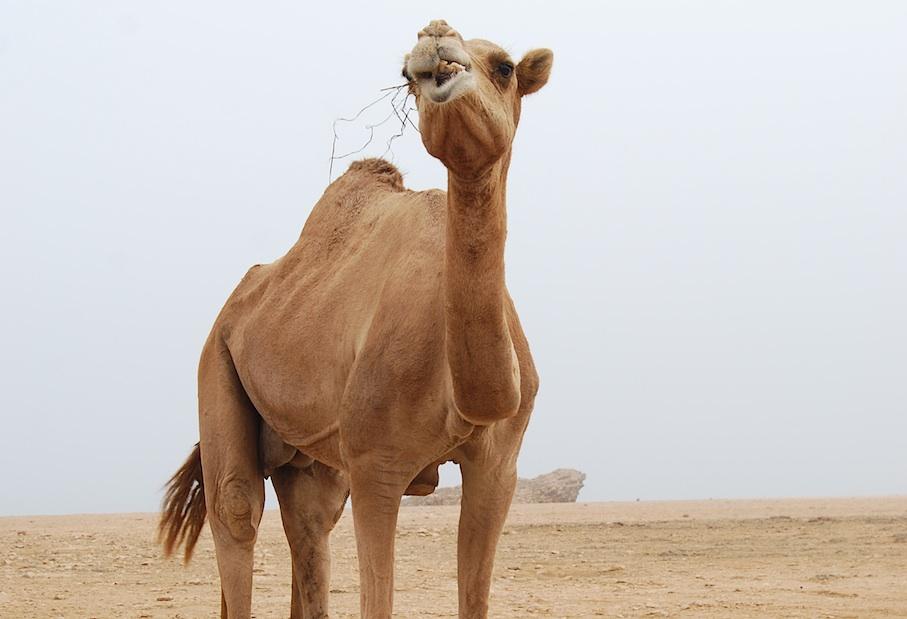 Oman_Dhofar_Kamel