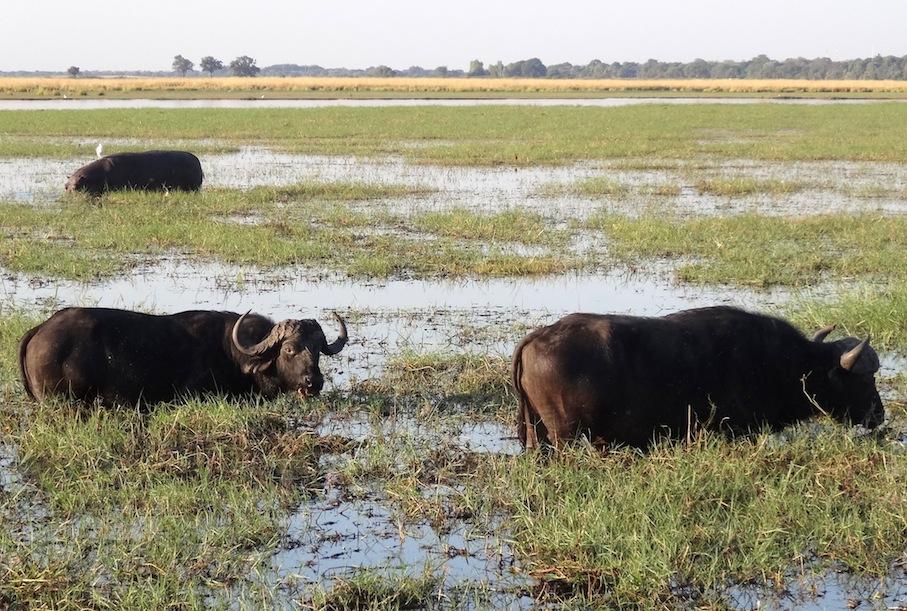 Botswana_Chobe_Bueffel