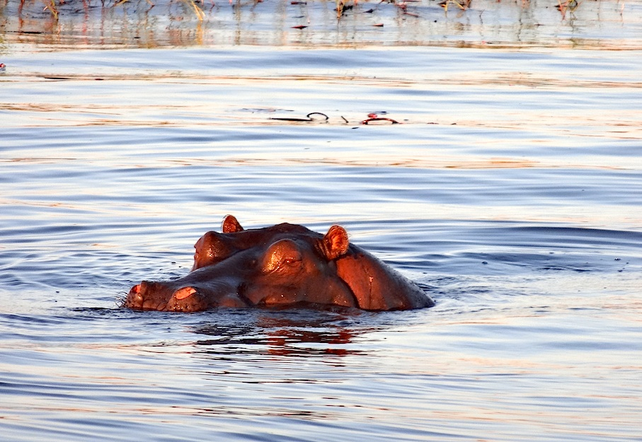 Botswana_Chobe_Flusspferd_Sonnenuntergang
