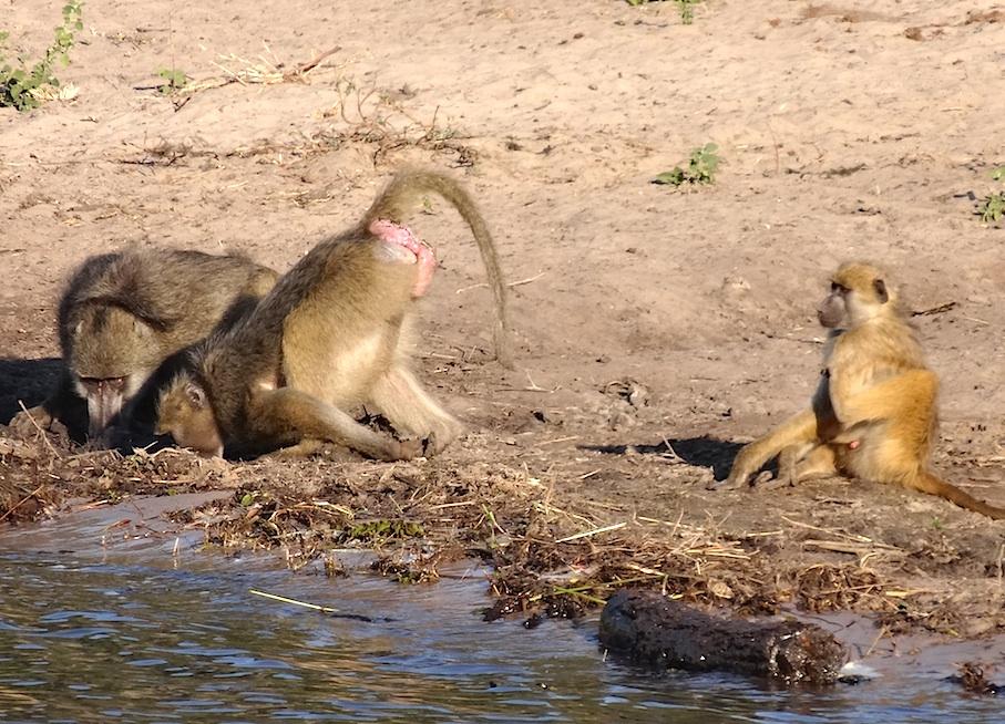 Botswana_Chobe_Paviane