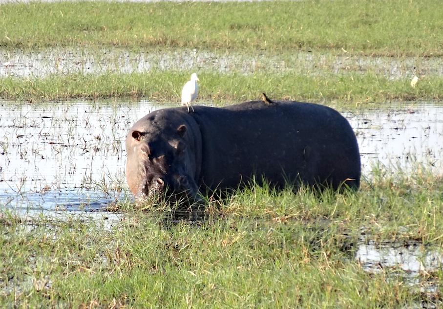 Botswana_Chobe_Flusspferd3