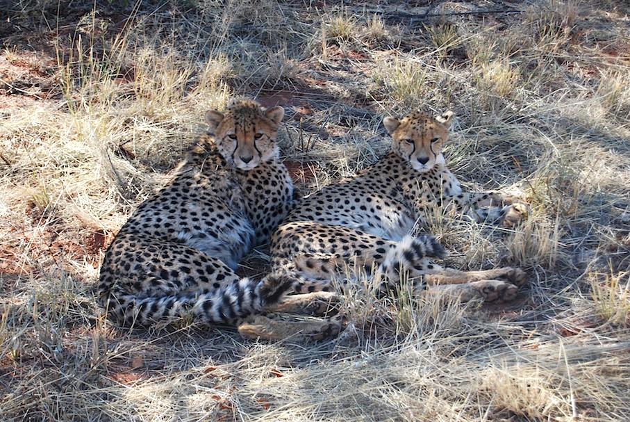 Nambia_Geparden
