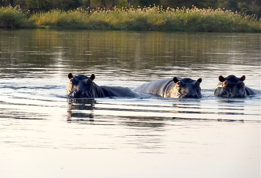 Namibia_Okavango_Bwabwata_Flusspferde