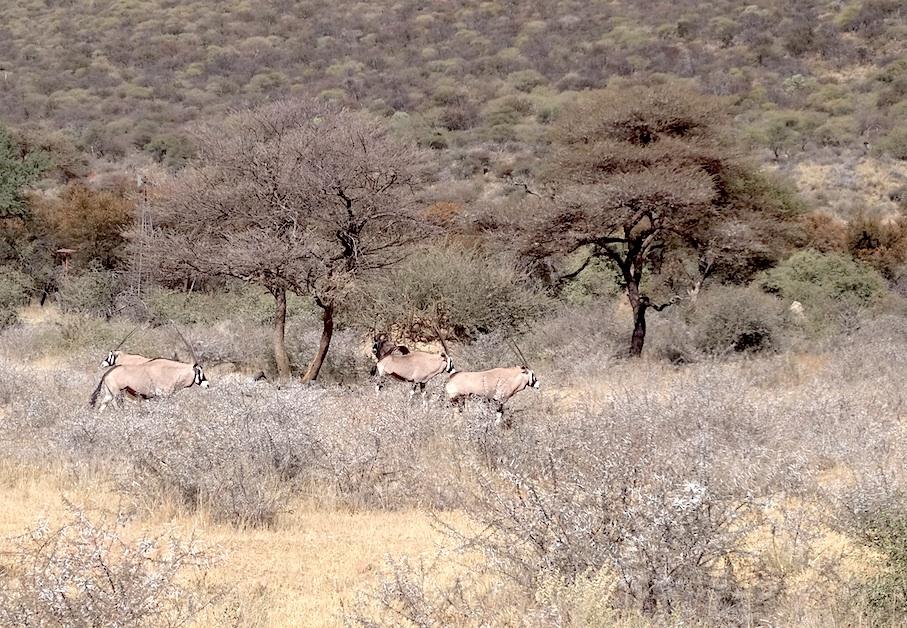 Namibia_Oryx_Antilopen