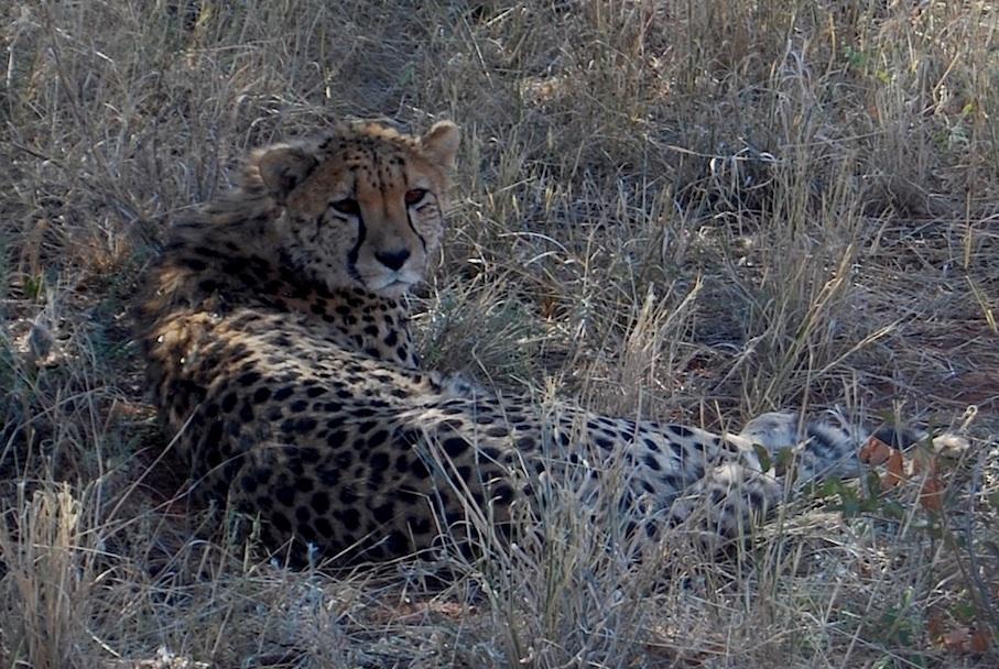 Namibia_Africat_Gepard