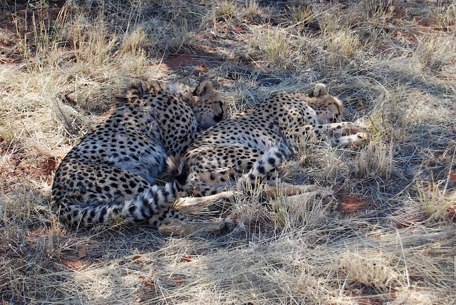 Namibia_Africat_Geparden