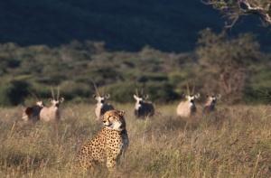 Namibia_Africat_Geparden_Antilopen