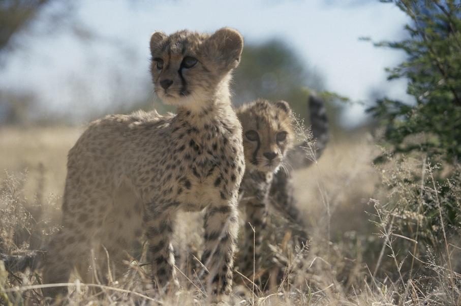 Namibia_Africat_Gepardenjunge