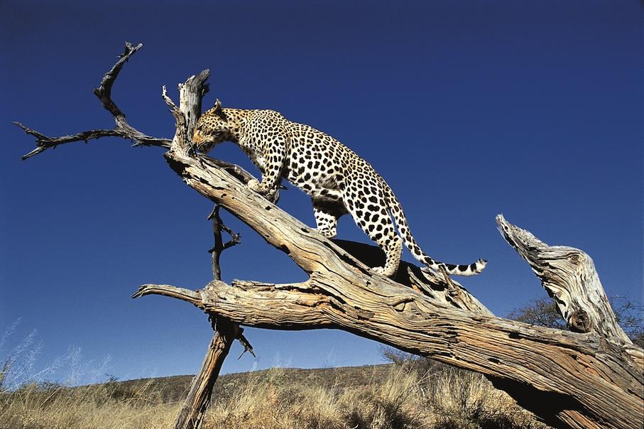 Namibia_Africat_Leopard