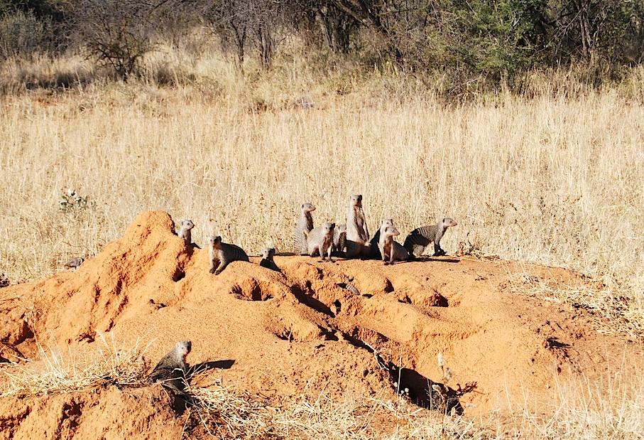 Namibia_Africat_Mangusten