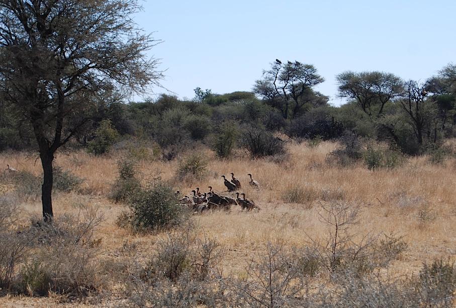 Namibia_Geier