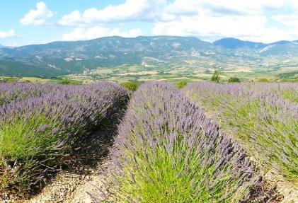 Frankreich_Provence_Lavendelfeld